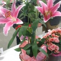 イイハナ鉢植え「オリエンタルリリー ソルボンヌ~甘い香りに包まれて~」